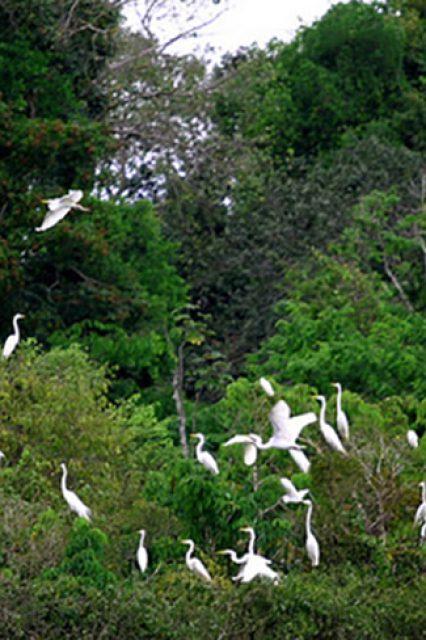 Revoada de pássaros na Amazônia